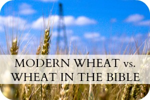 Modern Wheat vs Biblical Wheat
