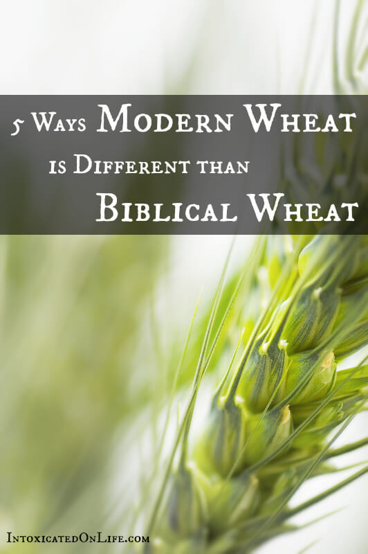 Modern wheat different than biblical wheat